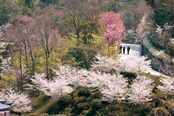 cherry tree buddhist singles Cherry blossoms are flowers of the cherry blossom tree known in japan  what is the meaning of cherry  this concept ties in with buddhist ideals .